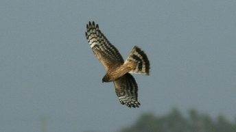 'Hen Harrier designation sees land values drop by €980m'
