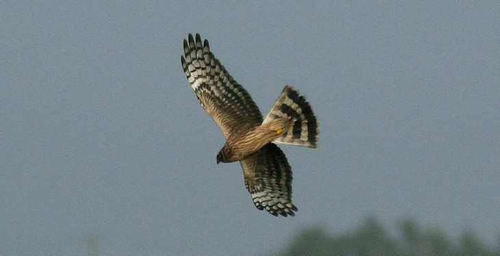 Design of hen harrier programme aided by 12 development farms