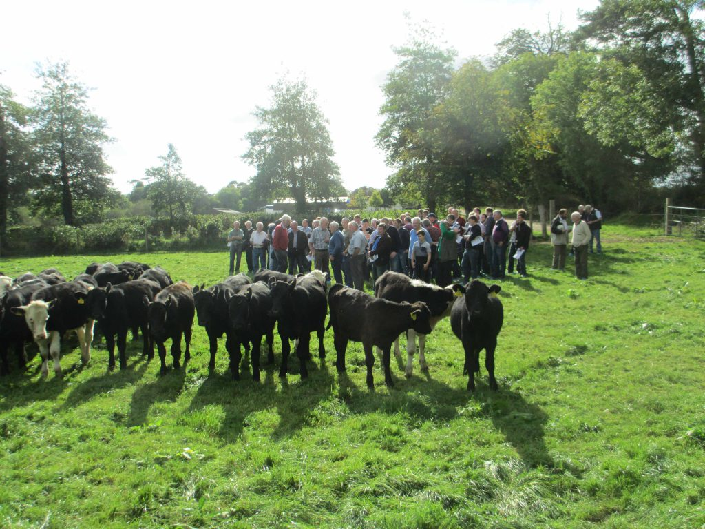 A selection of the younger dairy bred beef calves