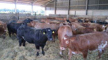Finished cattle trade remains steady as factories hold quotes