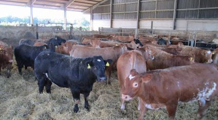 Silage quality is the key driver of performance for beef cattle
