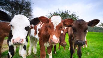 Calf births up 45,893 head as dairy calvings lead the way