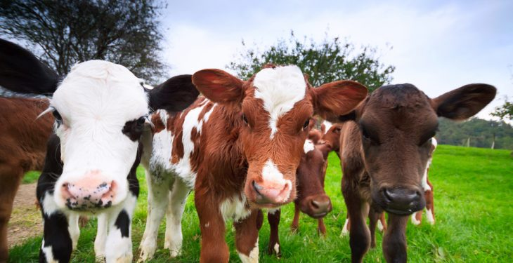 Calf births up 45,893 head as dairy calvings lead the way