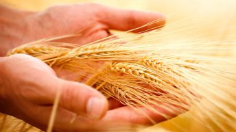 Grain price: November 2020 wheat rises again in the UK