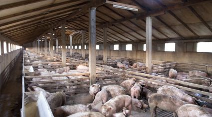 US research points to possible antibiotic alternative for pig industry