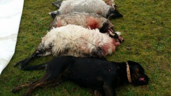 '3,000-4,000 sheep attacked by dogs every year'