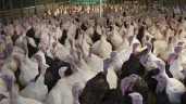 UK turkey farm goes up in smoke following 'explosion'