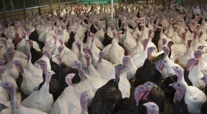 Moy Park to process one million turkeys for the festive season