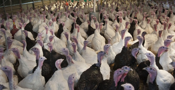 Support your local farmer and buy Irish-reared turkeys
