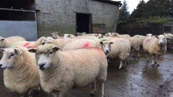 Sheep trade continues to strengthen with spring lamb making 480-490c/kg