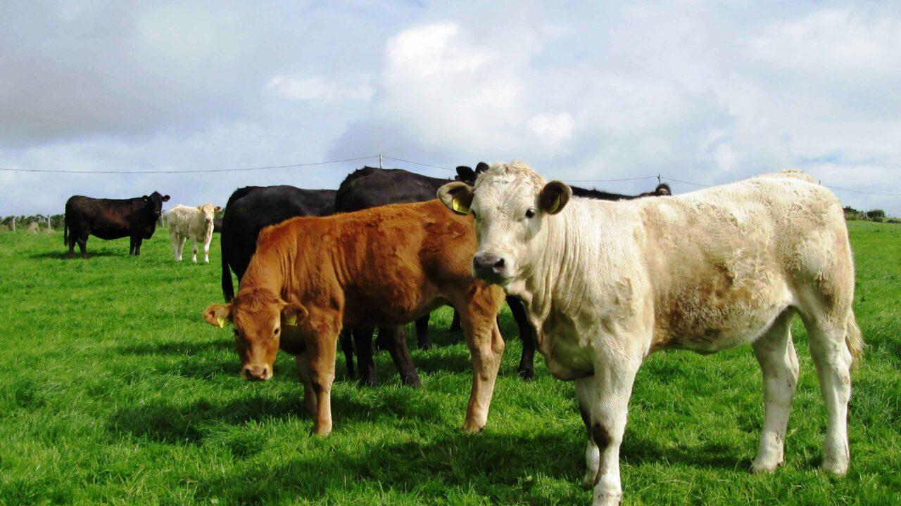 UK demands for lifetime quality assurance on cattle unacceptable – ICSA