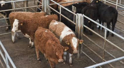 British cattle trade continues to strengthen