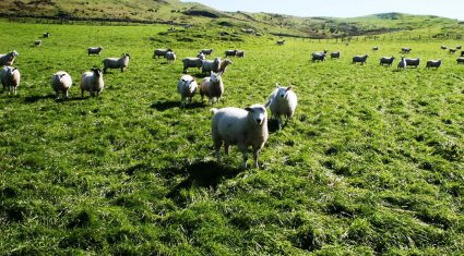 Fall in dependence on UK and France for sheepmeat exports