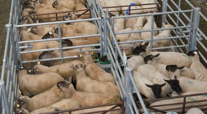 'Prices and demand strong for lambs'