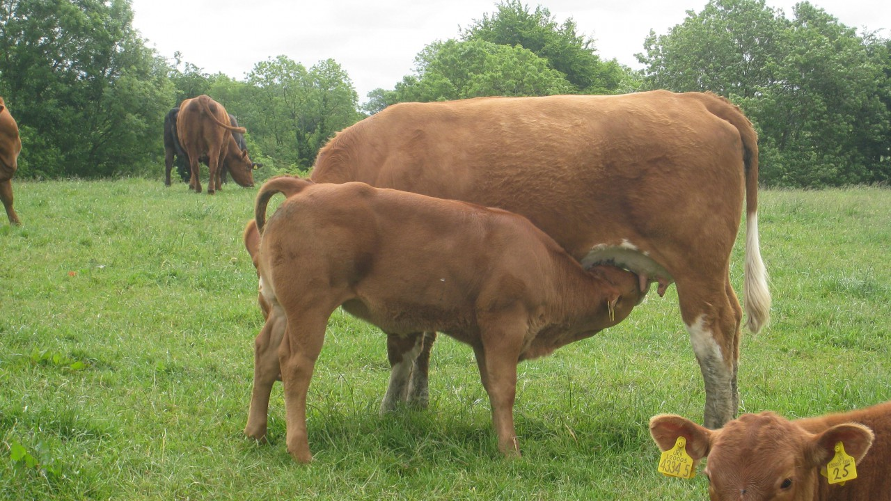 'Calf scour a real problem in suckler herds this spring'