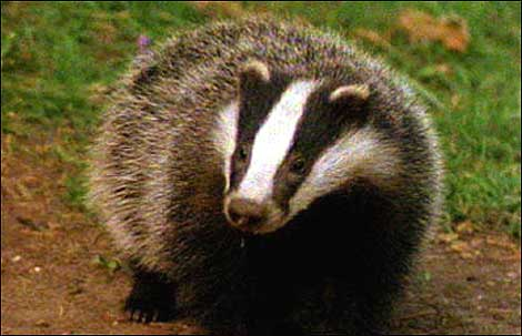 Badgers may shun cattle, it isn't enough to save them being culled