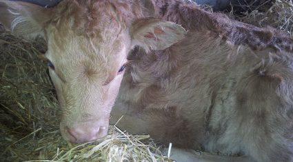 Minister announces €140 payment for PI calves under BVD scheme
