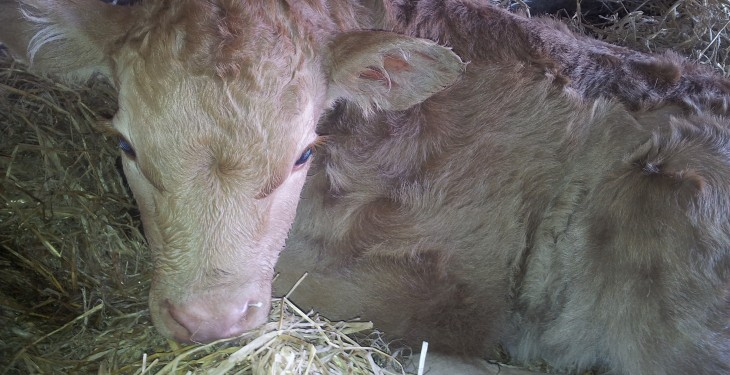 Be prepared for calving – key advice