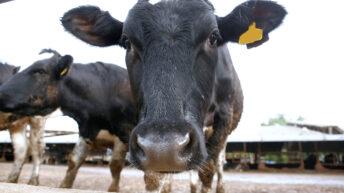 Bulgarian bovine spared the bullet in 'bizarre' international episode