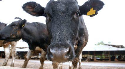 Slowdown in Kiwi dairy output growth forecast
