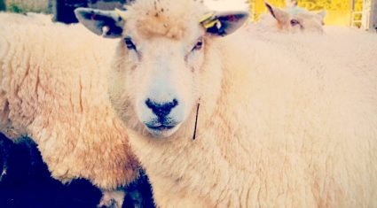 Getting ewe nutrition in late pregnancy right