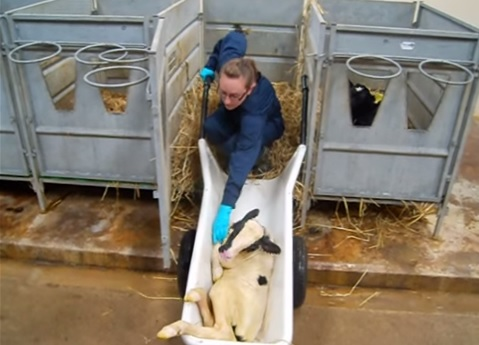 Calf barrow designed to do the lifting and carrying of calves