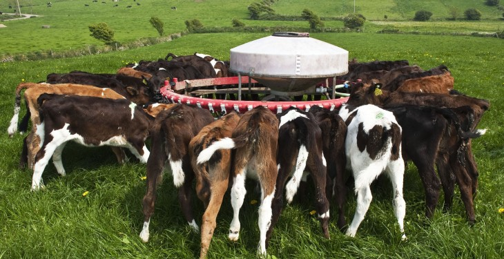 Why a lot more Friesian calves may go to Spain this year