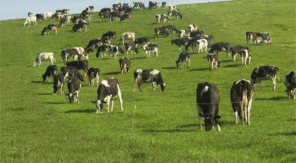 Kiwi rugby club secure its own dairy farm