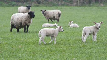 Department warns sheep farmers that a Nematodirus outbreak is likely