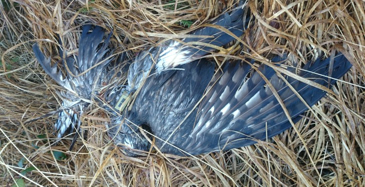 Gardai investigating death of Hen Harrier in Kerry