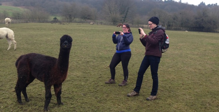 Llamas on the loose cause havoc with traffic