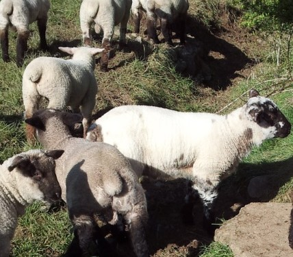 Number of Northern sheep being imported drops 7%