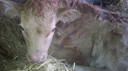 February farming – 12 key points to remember at calving time