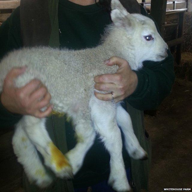 Five legged ewe gives birth to…..