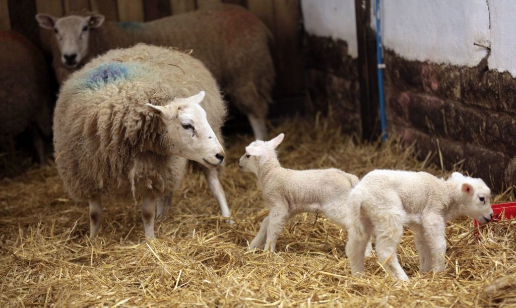 Quito with her two four legged lambs. Picture: Chronicle Live.