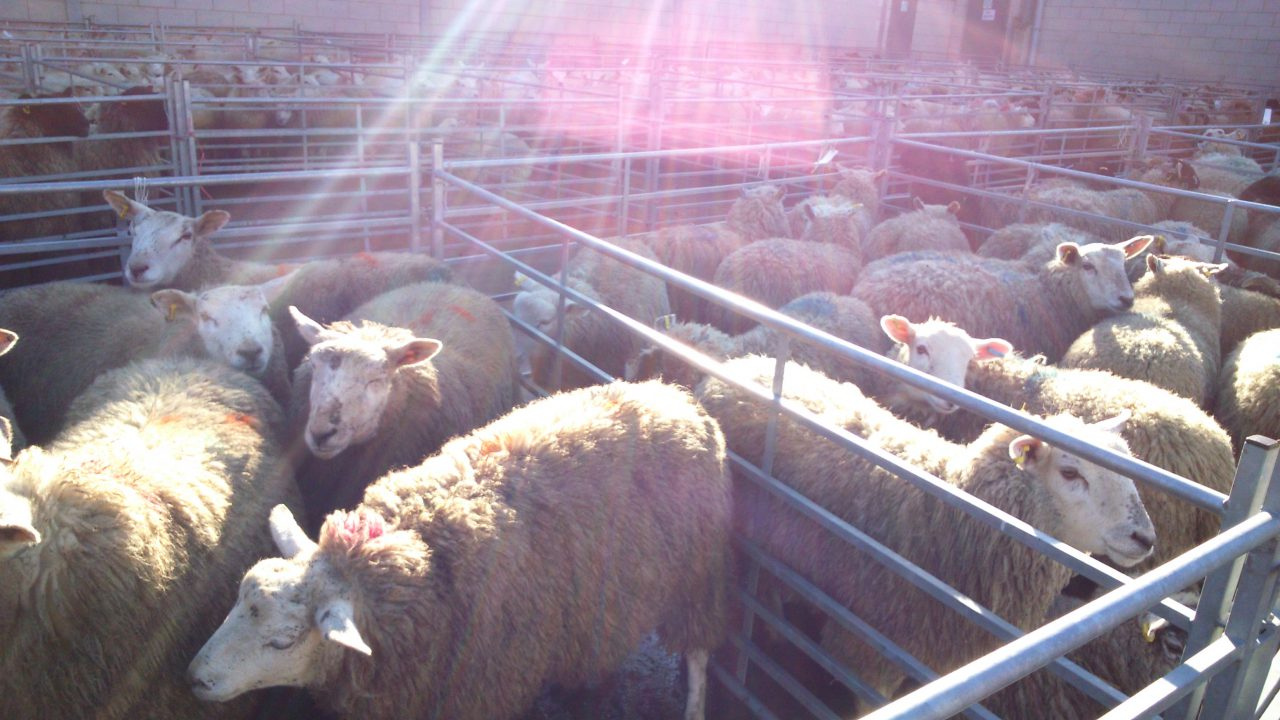 Steady growth in the UK's sheep meat production