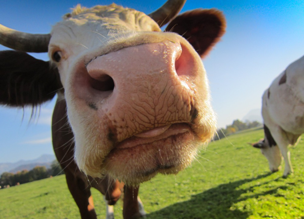 US cattle herd shows first upturn in eight years