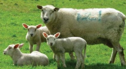 'Colostrum feeding is critical to prevent lambs dying from exposure'