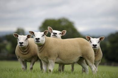 Bluestone should not be used in Texel sheep footbaths, expert warns