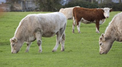 Farming organisations say TTIP deal will 'hang beef industry out to dry'