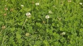 How to manage clover under derogation constraints