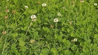 More milk and milk solids from grass-clover swards – but TMR diets lead the way