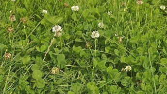 Establishing white clover in grass swards