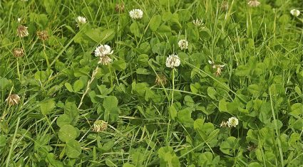 Shamrock – weed or one of Irish farmers' most useful asset?