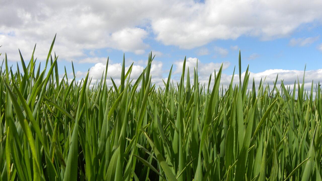 Heavily tillered barley crops at risk of lodging – Teagasc