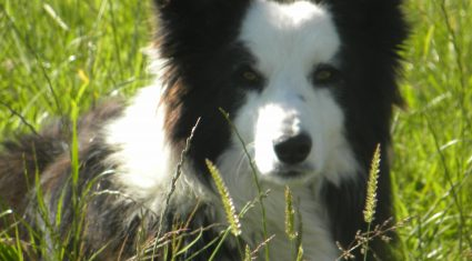 How much would you pay for a well-trained sheepdog?