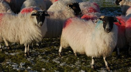 Hill lambing season to get underway within days