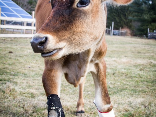 These cow boots were made for walking!