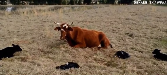 Udderly amazing! Cow gives birth to quadruplet calves
