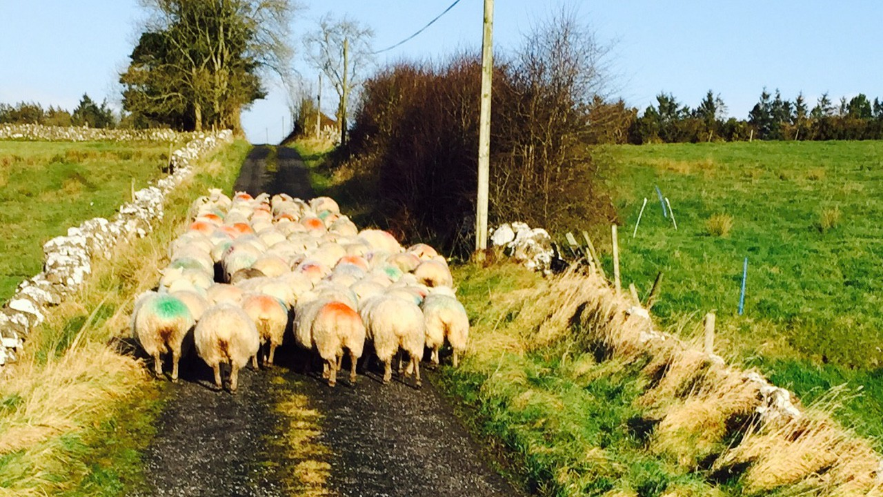Traffic jams of a different kind as sheep completely block the road